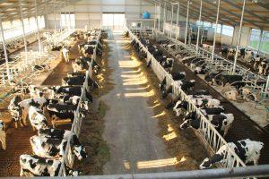 koeien-stal-luchtwasser-bouwbedrijf-scheenstra