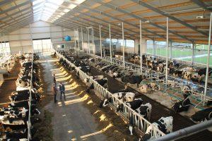 koeien-stal-nieuwbouw-bouwbedrijf-scheenstra